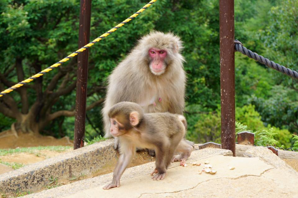 Baby monkey walking in front of mother monkey at Monkey Park Iwatayama - Kyoto