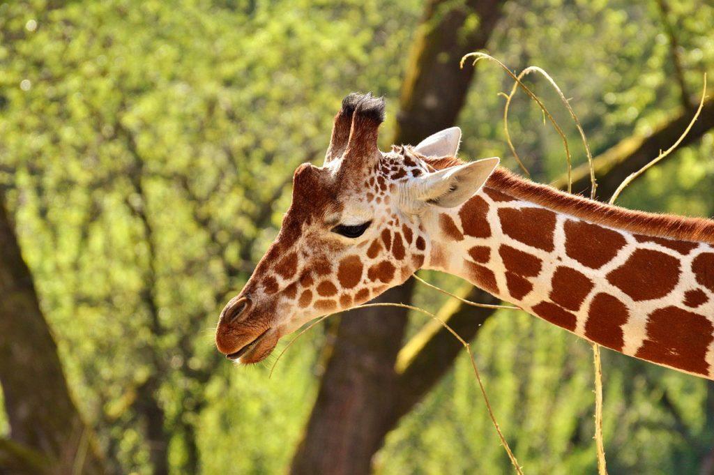 Giraffe at the St. Louis Zoo.