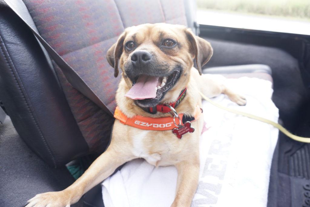 Dog in ezydog harness.