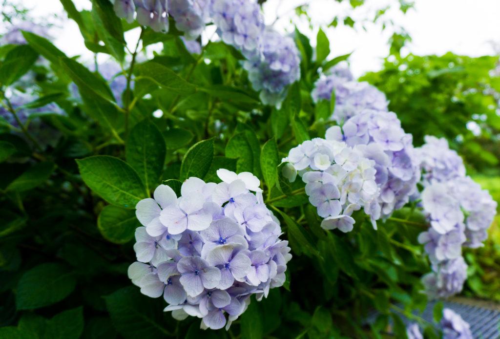 Lavender hydrangea flowers at Uminonakamichi Seaside Park in Fukuoka