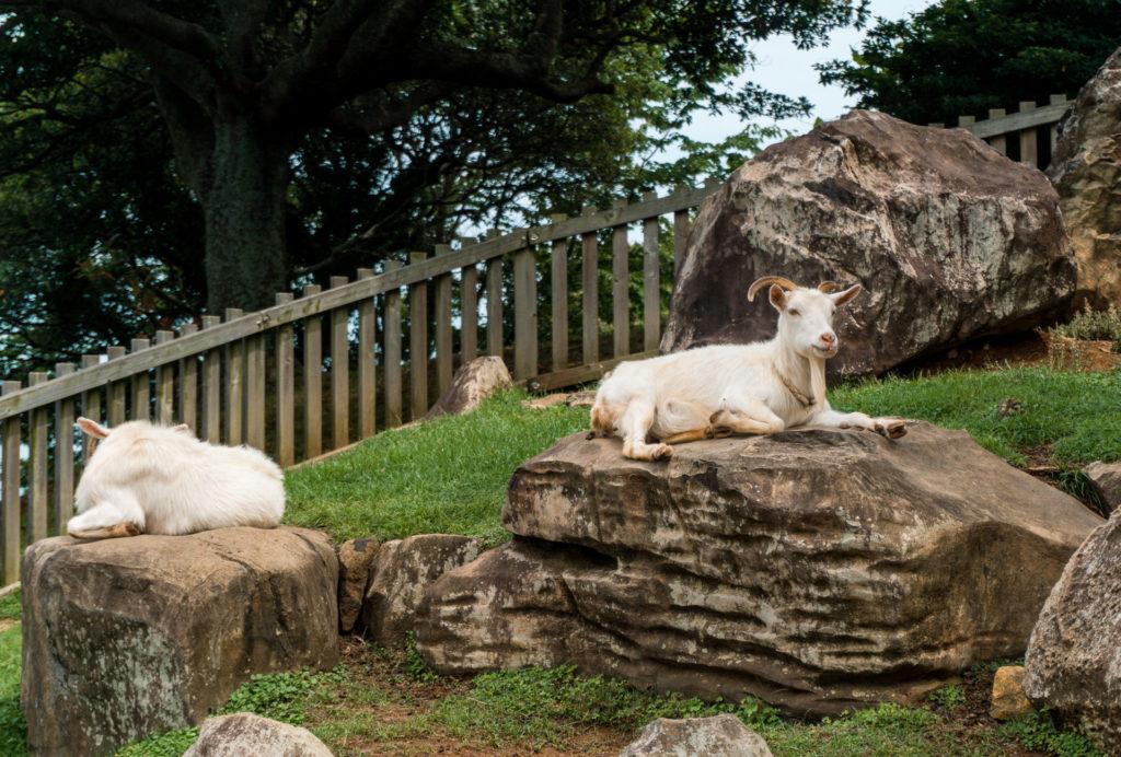 Goats laying on rocks at Nokonoshima Island - Fukuoka