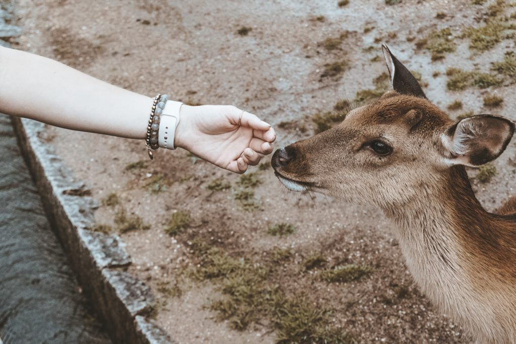 A hand reaching out to pet a deer in Nara Park (Japan)