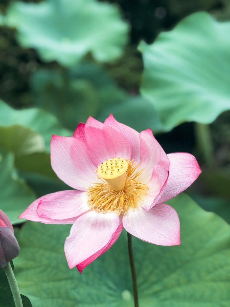 Light pink lotus flower in full bloom in Nara, Japan