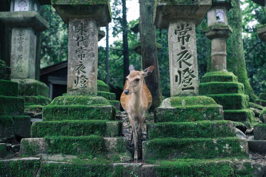Deer in Nara, Japan - Nara Itinerary post