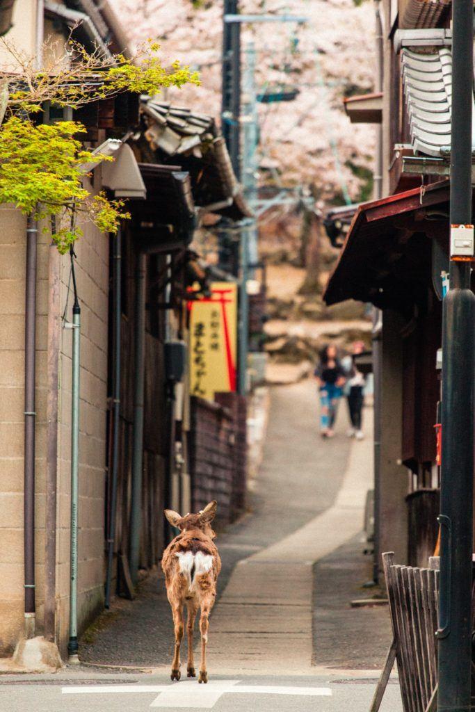Deer strolling down the street at Miyajima Island