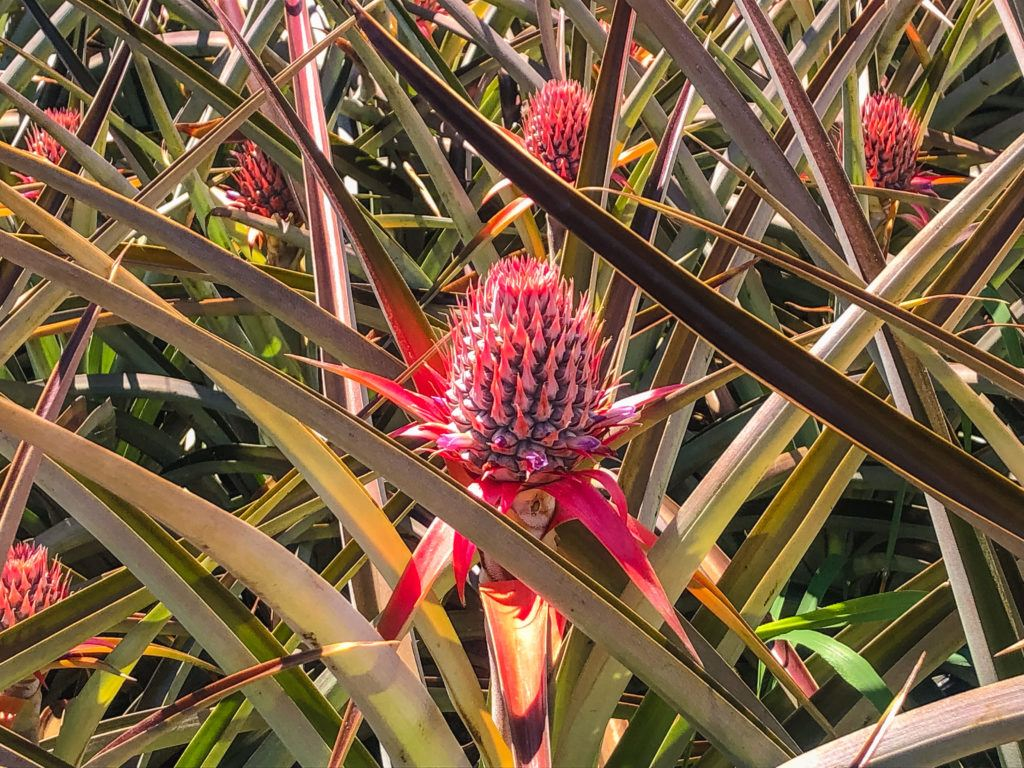 Baby pineapples at Maui Pineapple Tours.