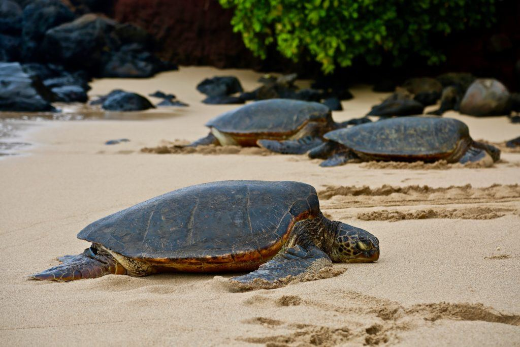 Turtles on the beach in Maui.
