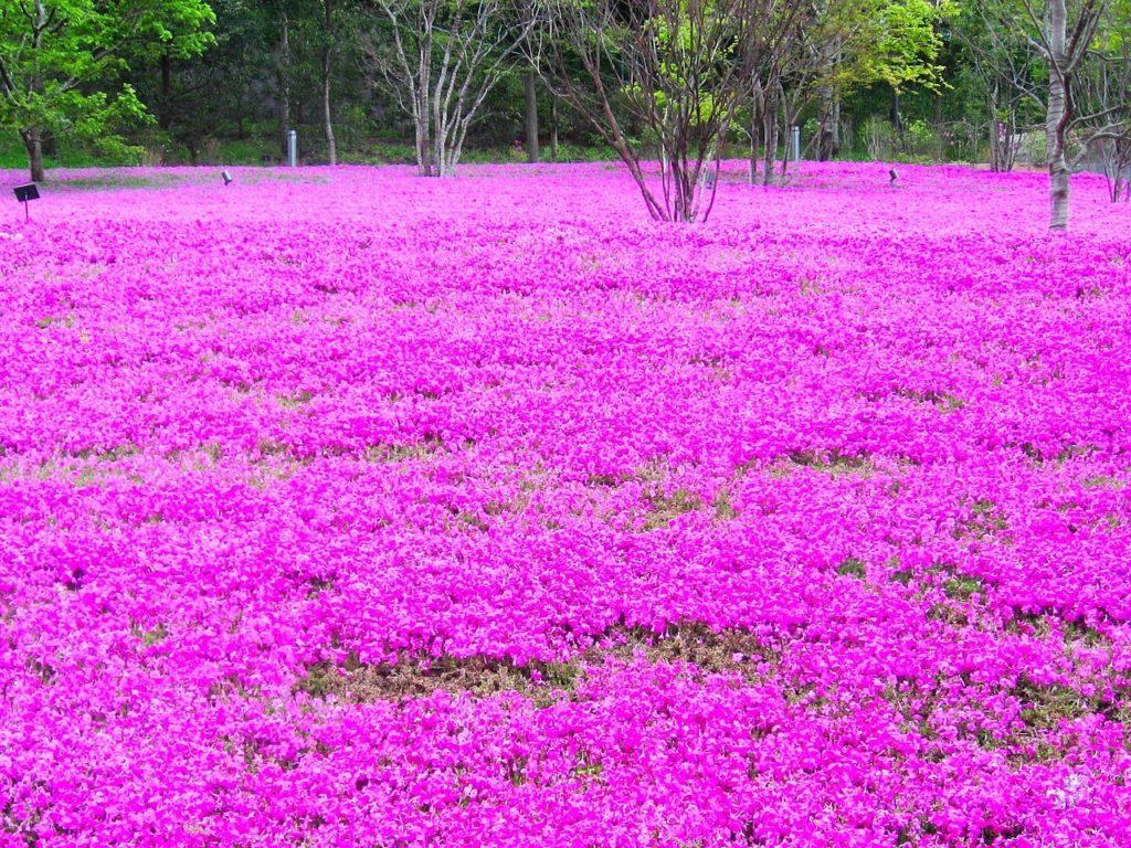 Pink Phlox in Hokkaido