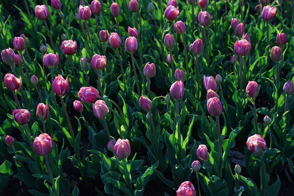 Tulips at Takino Suzuran Hillside Park