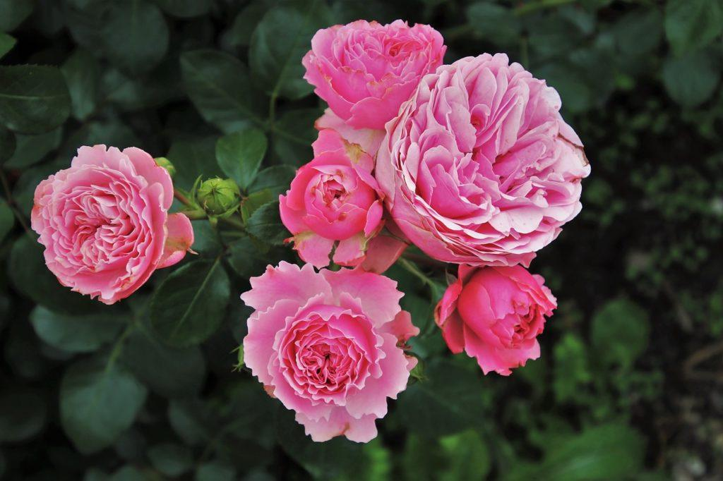 Rose bush - Yokohama Yamashita Park